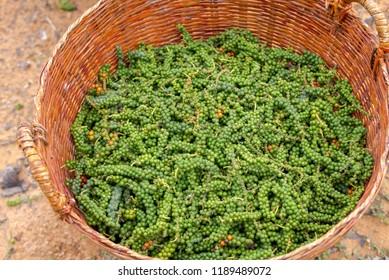 Fresh green paper on paper tree Phu Quoc Jun 2018