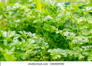 Fresh green parsley growing in garden. Parsley macro. Parsley bed. Natural herb planting. flavoring herbs growth. Parsley background. vegetable herb. Healthy food. Horticulture. row vegetarian food