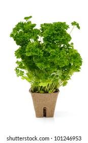 Fresh green parsley in organic pot