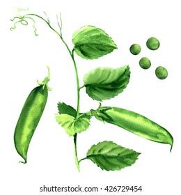 fresh green pea pod, peas plant, isolated, watercolor illustration