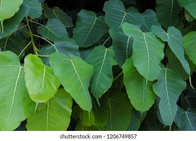 Fresh green Pho (ิbo, bothi) leafs.