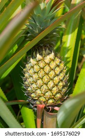 Fresh green pineapple in leaves on a tropical garden