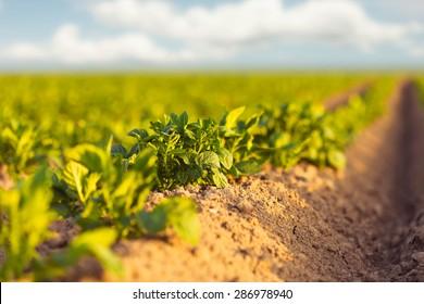 Fresh green potato field at sunset