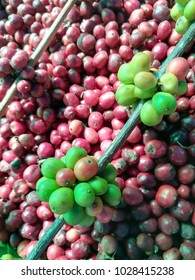 Fresh green and red mature coffee beans in a basket