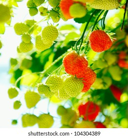 Fresh green and red raw Strawberries on a plant