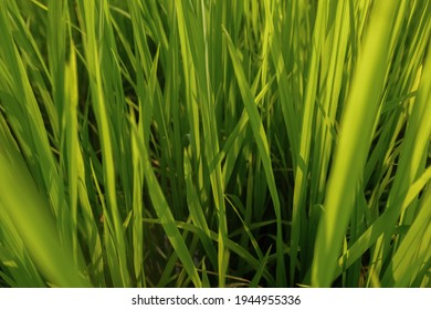 Fresh green rice field background in the morning, close up green rice field,blured ruce field - Shutterstock ID 1944955336