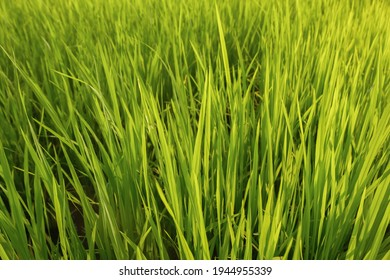 Fresh green rice field background in the morning, close up green rice field,blured ruce field - Shutterstock ID 1944955339