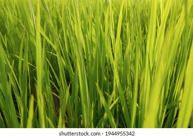 Fresh green rice field background in the morning, close up green rice field,blured ruce field - Shutterstock ID 1944955342