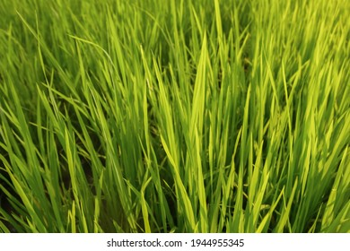 Fresh green rice field background in the morning, close up green rice field,blured ruce field - Shutterstock ID 1944955345