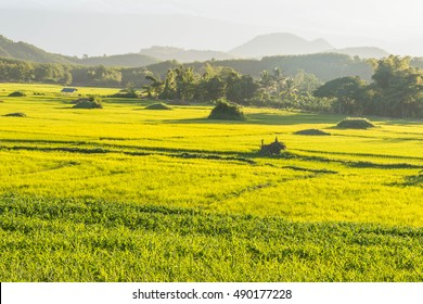 Fresh green rice fields and the mountain .Light shining sunset on green rice fields natural background.selective focus.