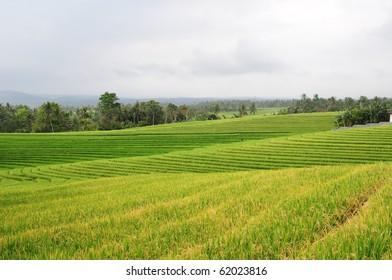 Fresh green rice paddies in Bali, Indonesia.