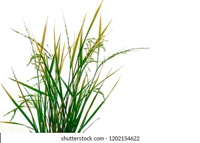 Fresh green rice plant isolated on white background of file with Clipping Path .