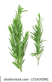 Fresh green rosemary isolated on a white background, top view. Aromatic herb.