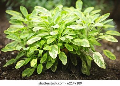 Fresh green sage herb plant growing in garden