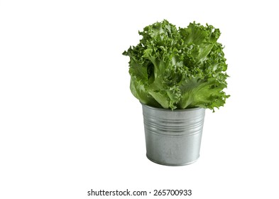 Fresh green salad hydroponics vegetable iceberg lettuce in silver tin pot white background