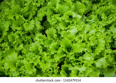 Fresh green salad leaves background