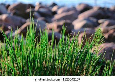 Fresh Green Sea Grass On The Beach Sunlight Natural Background Summer