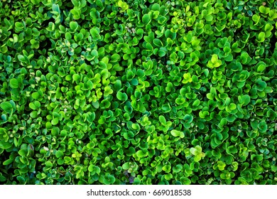 Fresh green small leaves for background, Microgreens, Close up