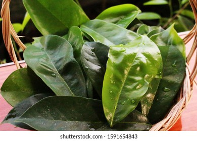 Fresh green soursop leaves placed  in a basket