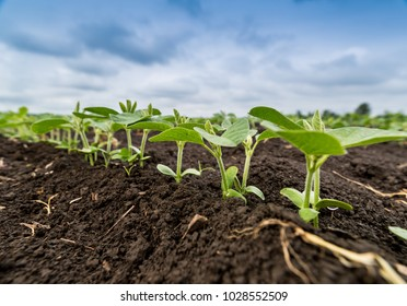 Fresh green soy plants on the field in spring