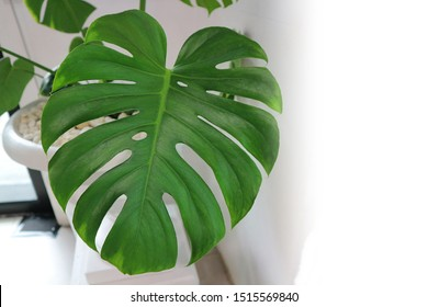 Fresh green split leaf philodendron or Tropical leaves isolated.