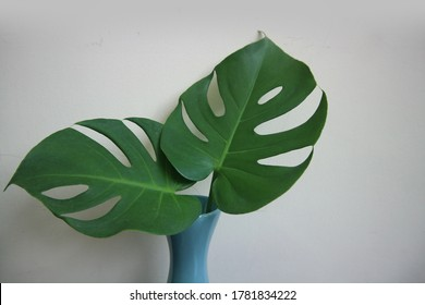 Fresh green split leaves philodendron or Monstera or Tropical leaves isolated on white wall background.