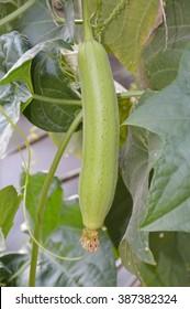 fresh green sponge gourd in garden - luffa cylindrica