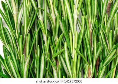 Fresh green sprig of rosemary. Rosemary texture. Rosemary macro. Rosemary branch
