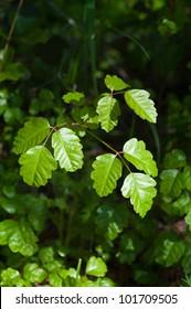 Fresh green sprigs of poison oak