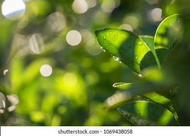 Fresh green spring foliage Bergamot leaf with dew drops and bokeh sunset background. Soft Focus. Abstract Nature pattern with copy space for text