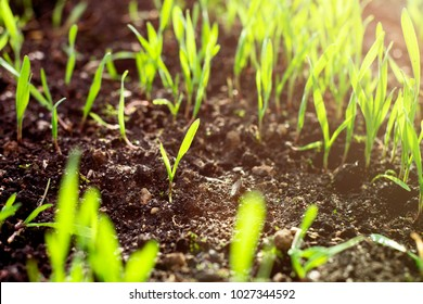 Fresh green spring grass with dew drops closeup with sun on natural defocused light nature bokeh background, Lawn grass sprouting, sowing crops and grains