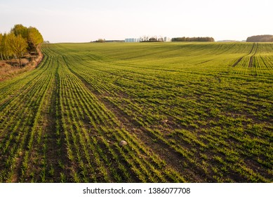 Fresh green spring grass with the sun on the background of nature, lawn grass sprouting, sowing grain and cereals