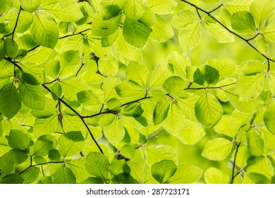 Fresh green spring leafs of a beech tree form a repetitive pattern