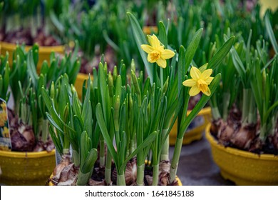 Fresh green sprouts of daffodil bulb plants with two yellow flowers on blurry background. Narcissus blooming plants in yellow flower pots. Natural textures of springtime. Floral backdrop.