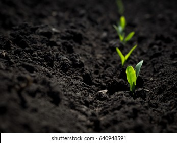 Fresh green sprouts of maize in spring on the field, soft focus. Corn as a biofuel, agricultural plants for alternative green energy. Agricultural scene with corn's sprouts in earth closeup.