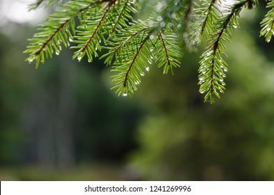 Fresh green spruce tree twigs with rain drops