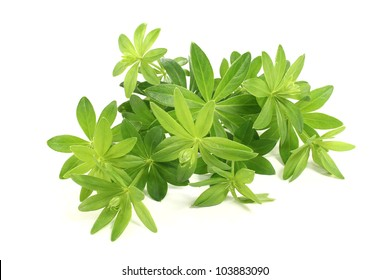 fresh green sweet woodruff with buds on a light background