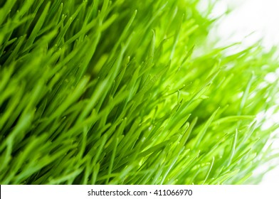 Fresh green tall grass in sunlight close up details as background image
