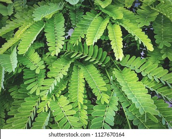 Fresh Green Tamarind Leaves