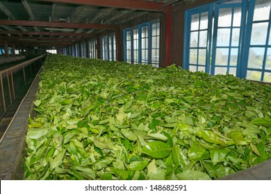 Fresh green tea crop drying on long warm surface inside of tea factory for withering