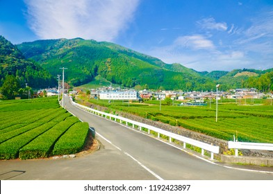 Fresh green tea farm in spring , Row of tea plantations (Japanese green tea plantation) Haibara District, Shizuoka prefecture, Japan
