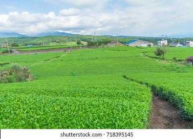 Fresh green tea farm in spring , Row of tea plantations (Japanese green tea plantation) with  blue sky  background  in Fuji city ,Shizuoka prefecture, Japan.