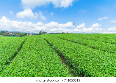 Fresh green tea farm in spring , Row of tea plantations (Japanese green tea plantation) with  blue sky  background  in Fuji city ,Shizuoka prefecture, Japan.