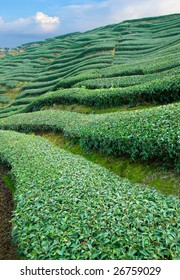 Fresh green tea field
