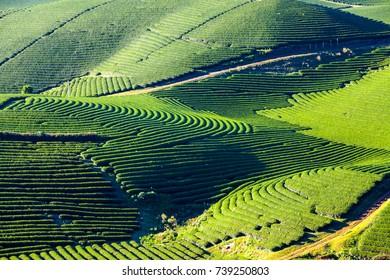 fresh green tea field in Moc Chau Highland, Vietnam