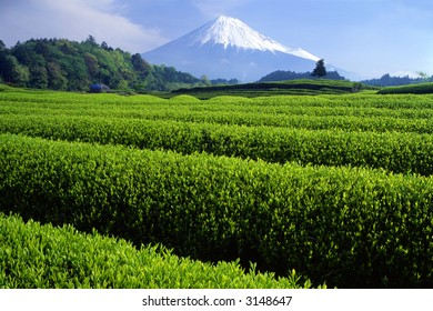 Fresh green tea fields with snow-capped Mount Fuji