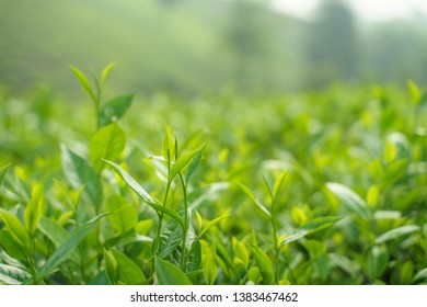 Fresh green tea leaves and buds in a tea plantation in morning