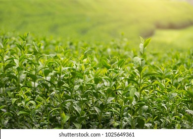 Fresh green tea leaves close up in tea plantation