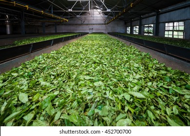 Fresh green tea leaves drying inside a tea factory in India