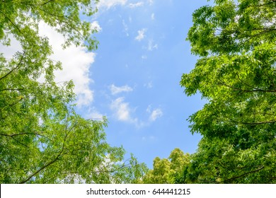 Fresh green trees and blue sky and clouds